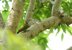 Grey-headed woodpecker in the forest of Jim Corbett Royalty Free Stock Photos