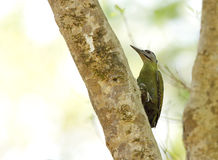 Grey-headed woodpecker perched on tree trunk Stock Images