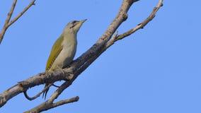 Grey Headed Woodpecker & x28; Picus canus& x29; stock afbeeldingen