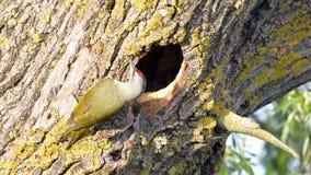 Grey Headed Woodpecker & x28; Picus canus& x29; royalty-vrije stock foto's