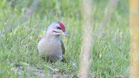 Grey Headed Woodpecker & x28; Picus canus& x29; stock afbeelding