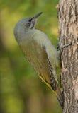 Grey-headed woodpecker (Picus canus) Stock Photos