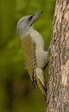 Grey-headed woodpecker (Picus canus) Royalty Free Stock Images