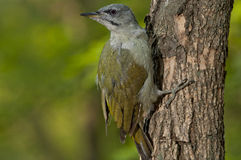 Grey-headed woodpecker (Picus canus) Stock Image