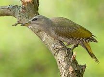 Grey-headed woodpecker (Picus canus) Royalty Free Stock Photo