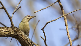 Grey-headed Woodpecker Royalty Free Stock Images