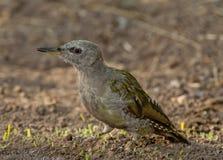 Grey-headed woodpecker (Picus canus) Stock Photo