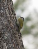 Grey Headed Woodpecker in Sattal wordt gezien die stock afbeeldingen