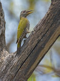 Grey-headed woodpecker Stock Images