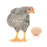 Grey hen with egg Royalty Free Stock Photography