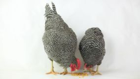 Grey hen and rooster eating stock video