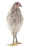 Grey hen Royalty Free Stock Photography