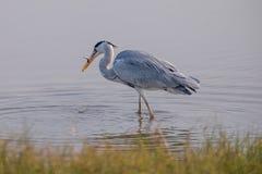 Grey Heron äta Royaltyfri Foto