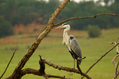 Grey heron Royalty Free Stock Image