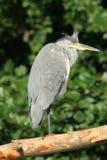 Grey heron. Royalty Free Stock Images