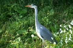 Grey heron. Royalty Free Stock Photo