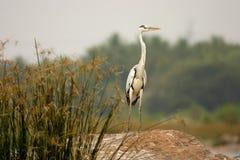 Grey Heron. Looking for prey at Ranganthittu national parl in India. at Ranganthittu national parl in India Stock Photo