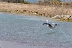 Grey Heron wings out in the water royalty free stock photography