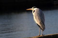 Grey heron. Close up of grey heron Royalty Free Stock Photos