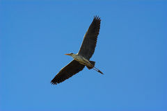Grey heron. In flight - the shot was taken in the Kruger Park, South Africa Royalty Free Stock Images
