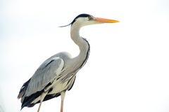 Grey heron Stock Images