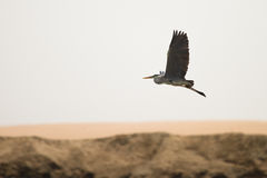 Free Grey Heron Royalty Free Stock Photo - 18392035