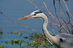 Grey Heron. Standing motionless in a dam in the Kruger National Park Stock Photo