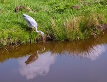 Grey Heron . Royalty Free Stock Photography