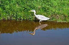 Grey Heron . Stock Images