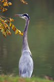 Grey Heron 2. Grey heron perched on the edge of a lake looking for a meal Stock Photography
