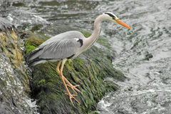 Grey Heron_2 Royalty Free Stock Photos