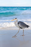Grey Heron. Wlking at the sunny beach Royalty Free Stock Photography