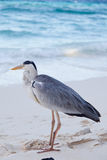 Grey Heron. Standing at a beahc Royalty Free Stock Image