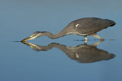 Grey Heron Royalty Free Stock Photography