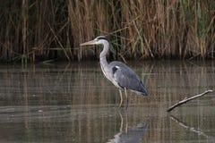 Free Grey Heron Stock Images - 21683574