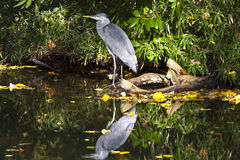 Free Grey Heron Royalty Free Stock Image - 21863216