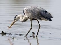 Free Grey Heron Royalty Free Stock Images - 21869359