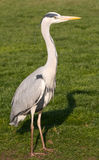 Grey Heron. Portrait sitting in the yard Stock Image