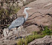 The Grey Heron Royalty Free Stock Photo