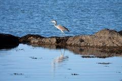 Grey Heron Stock Image