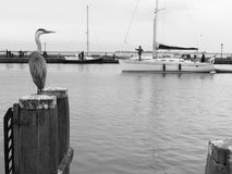 Grey heron. Black and white photo of grey heron on berth in safe coexistence with unknown people on yachts. Volendam, Netherlands Stock Photos