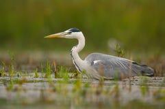 Grey Heron imagem de stock royalty free