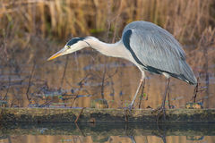 Grey Heron Royalty Free Stock Images