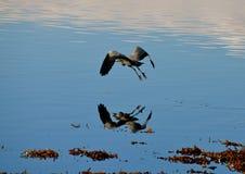 Grey Heron image libre de droits