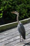Grey Heron Lizenzfreie Stockbilder