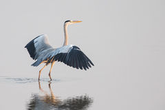 Grey Heron stock fotografie