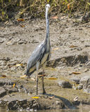 Grey Heron Images stock