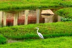 Grey Heron Stockbild