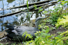 Grey Heron Fotos de Stock Royalty Free