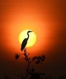 (Grey Heron) Foto de Stock Royalty Free